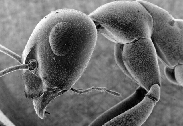 electron_ant